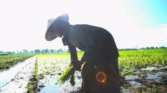 Farm worker planting rice seedlings in fertile soil Java Indonesia Stock Footage