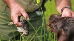 Pointing dog in the hunt, Kurzhaar, drathaar hunting. Stock Footage