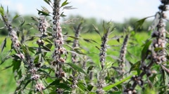 Leonurus cardiaca, known as motherwort, is herbaceous perennial plant in mint Stock Footage