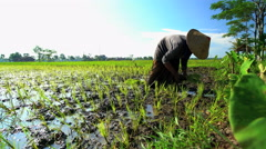 Rural farm worker planting rice seedlings in fertile soil Java South East Asia Stock Footage