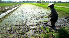 Female worker planting rice seedlings in rice field Java Indonesia Stock Footage