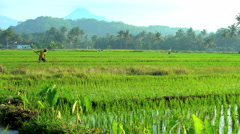 Male farm worker irrigating rice field with hand tool near Mt Merapi Java Stock Footage
