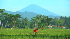 Mt Merapi a rural tropical farmer working with tool in rural rice fields Java Stock Footage