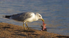 Yellow legged gull (Larus michahellis) eating pigeon on the beach Stock Footage