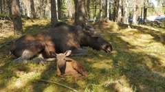 Female moose with one-hour newborn calf  Stock Footage