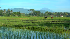 Male farm worker irrigating rice field with hand tool near Java Indonesia Stock Footage