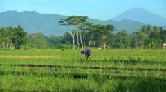 Rural manual worker farming in rice fields with hand tool Java Indonesia Stock Footage
