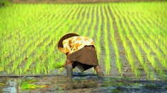Workers planting rice seedlings in the fields of Java Indonesia South East Asia Stock Footage