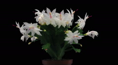 Time-lapse of growing and blooming white Christmas cactus in RGB + ALPHA matte Stock Footage