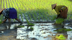 Traditional workers planting rice seedlings in the fields of Java Indonesia Stock Footage
