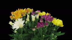 Time-lapse of opening multicolor chrysanthemum flower buds in RGB + ALPHA matte Stock Footage