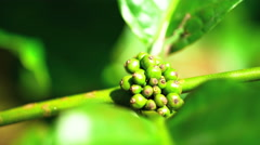 Coffee plant growing in tropical Rainforest Java South East Asia Stock Footage