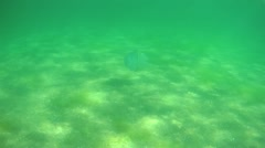 Barrel jellyfish flow underwater, Black sea Stock Footage