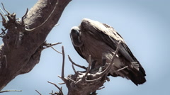 Vulture sitting on a parched tree - Africa Stock Footage