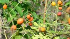 Orange wild rose berries on branch Stock Footage
