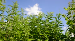 Nettle on background sky summer day Stock Footage