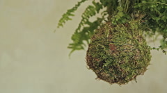 Decorative green shrub in form of ball Stock Footage