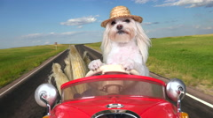 4K Farmer Dog Drives Corn To Market In Red Car Stock Footage