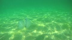 Barrel jellyfish flow underwater Stock Footage
