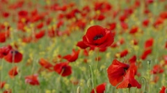 Field With Poppies As Symbol Of Sorrow Stock Footage