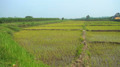 View of Indonesian rice fields and storage sheds Java Yogyakarta Stock Footage