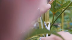Cutting Okra crop from stem Stock Footage