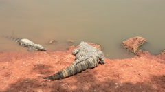 Nile crocodile go in to the water Stock Footage
