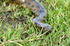 Green anaconda (Eunectes murinus) Stock Photos
