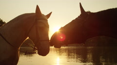 CLOSE UP: Two beautiful horses touching with muzzles at golden sunset Stock Footage