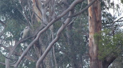 Kokaburra flyes from branch and hunts Stock Footage