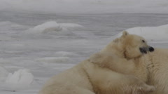 Slow motion - two polar bears bight and stand to fight on ice Stock Footage