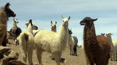 Llamas near the Salar de Uyuni, Bolivia Stock Footage