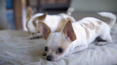 A close up of a two adorable chihuahuas lying on a bed in slow mo Stock Footage