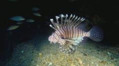 Lionfish on North Carolina shipwreck Stock Footage
