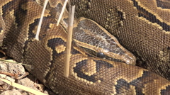 Ball python snake in the wild - Africa Stock Footage