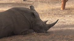 White rhinoceros resting in the wild - Africa Stock Footage