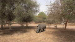 White rhinoceros in the wild - Africa Stock Footage