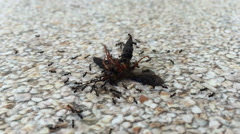 Ants carrying dead insect on the ground Stock Footage