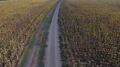 Landscape with a dirt road in sunflower fields. Stock Footage