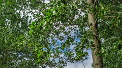 4K UHD Time Lapse of Poplar tree leaves shaking in a windy day Stock Footage