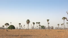 Heat African savanna landscape with baobab and palm trees Stock Footage