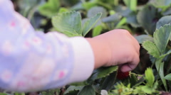 Child's hand picks strawberries Stock Footage