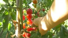 Gardener Picking Tomato Vegetable Garden Farmer Harvesting Tomatoes organic 4k Stock Footage