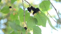 Ripe black berry hanging on Morus tree branch Stock Footage