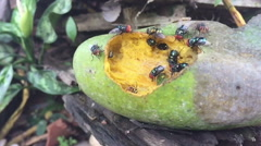 Slow motion bluebottle flies crawl and suck mango juice from rotten mango Stock Footage