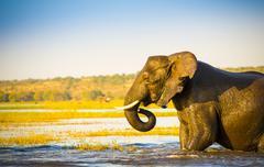 Elephant Wading Across Chobe River Botswana Stock Photos