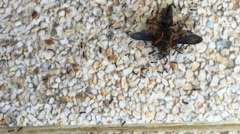 Time lapse black ants working, carrying provisions for their nests Stock Footage