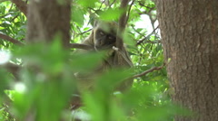 Green vervet monkey on the tree - Africa Stock Footage