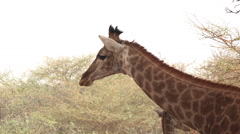 Giraffe in the African savanna - Africa Stock Footage