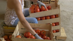 Girl's hands sorting fresh and ripe tomatoes in boxes by Cutter. Stock Footage